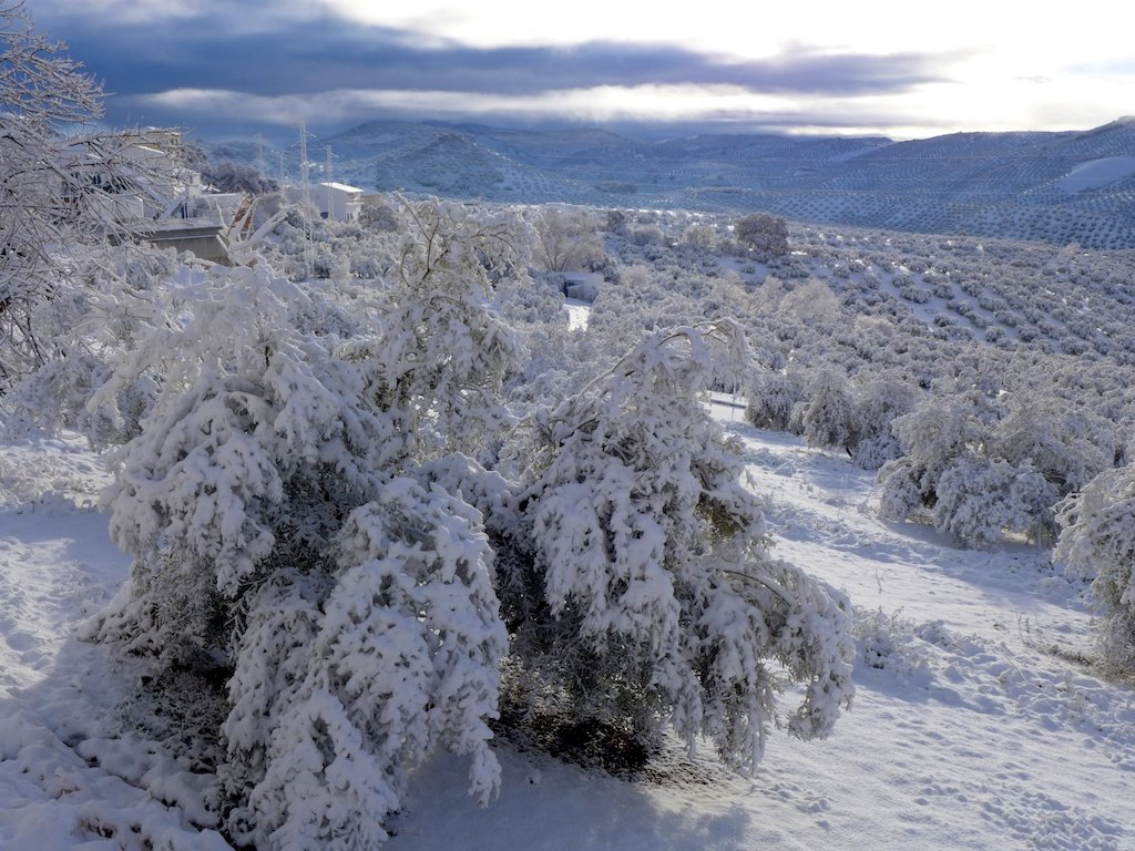 Andalucia_olive trees in snow
