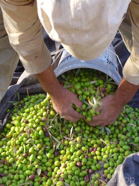 Palestine+Burin+harvesting+olives