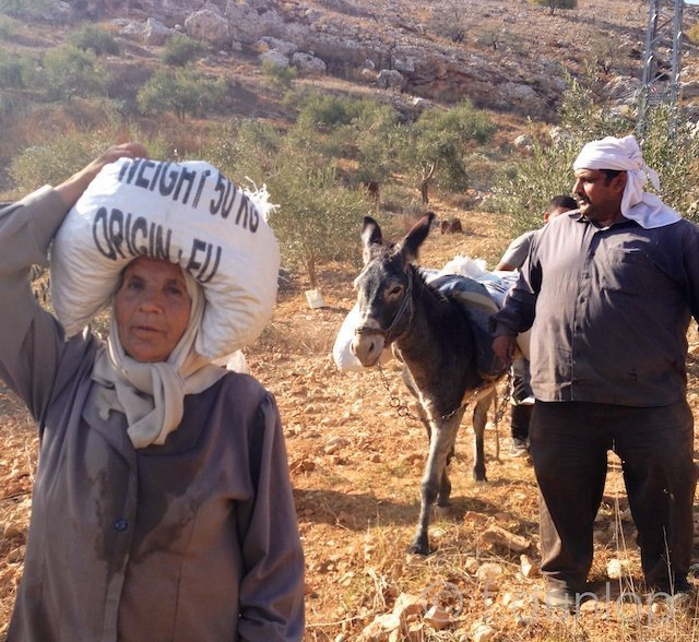 WestBank_olive_harvest_donkey_transport