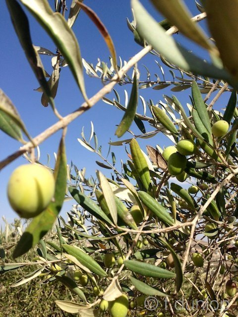 West_Bank_olives