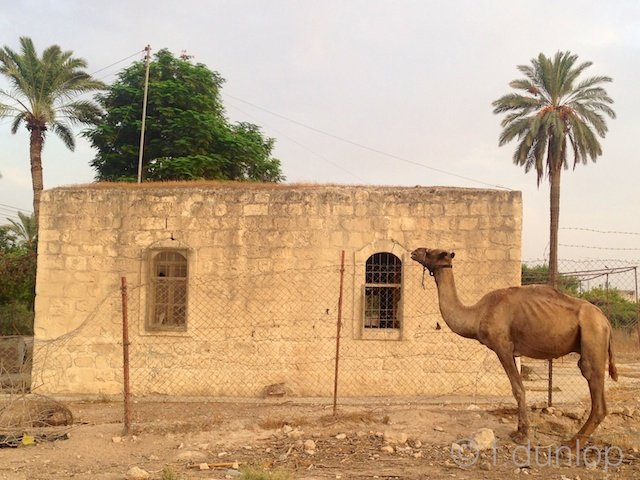 West_Bank_Jericho_camel_palms