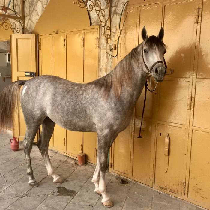 Hebron horse in souq
