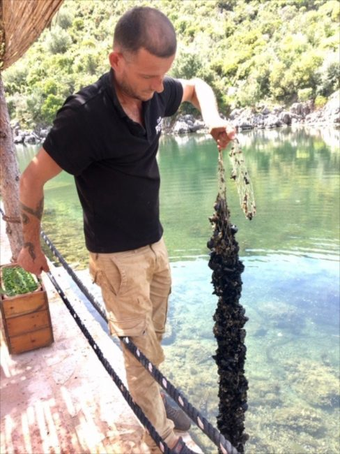 Albania Mussels on a rope