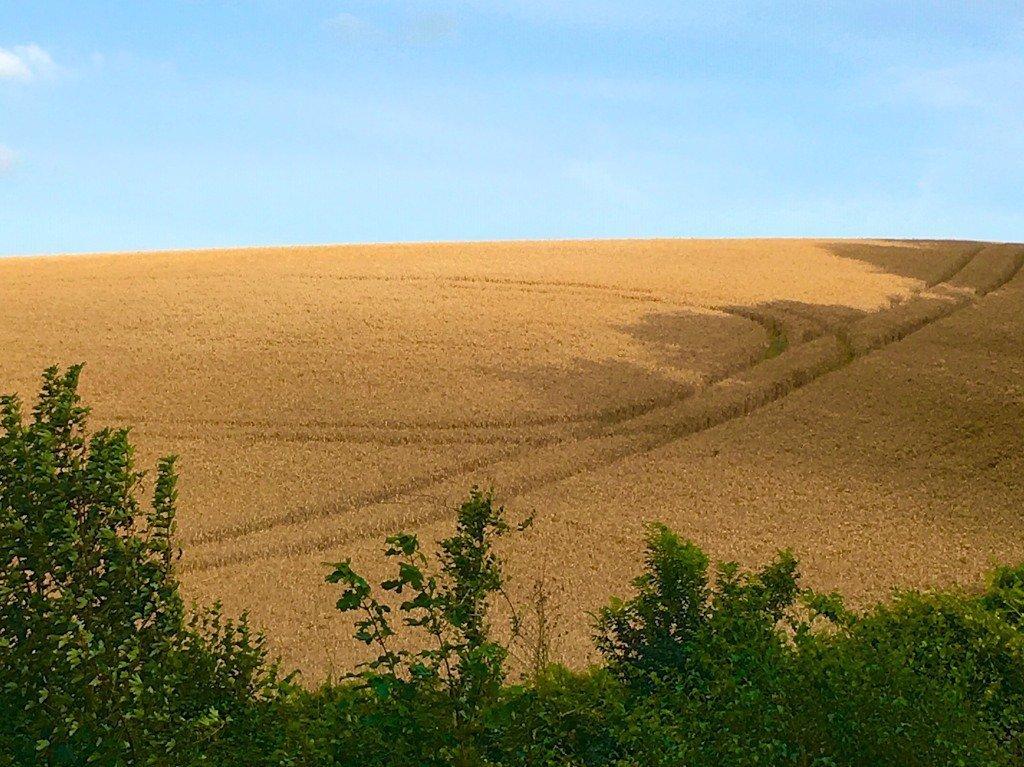 wheatfield, Kent