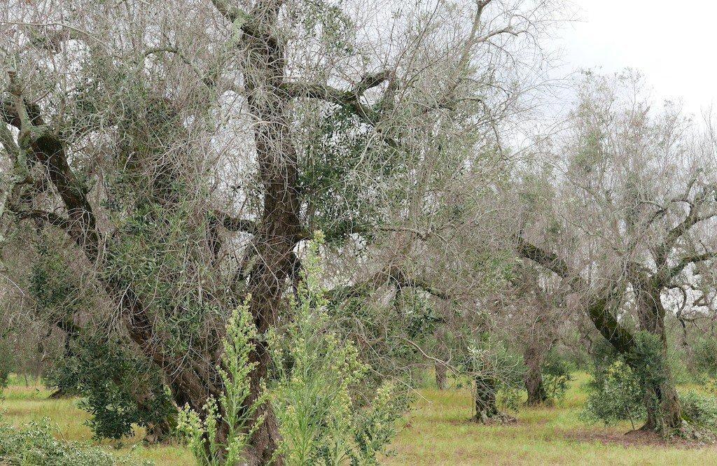 Salento, Puglia, dead olive trees