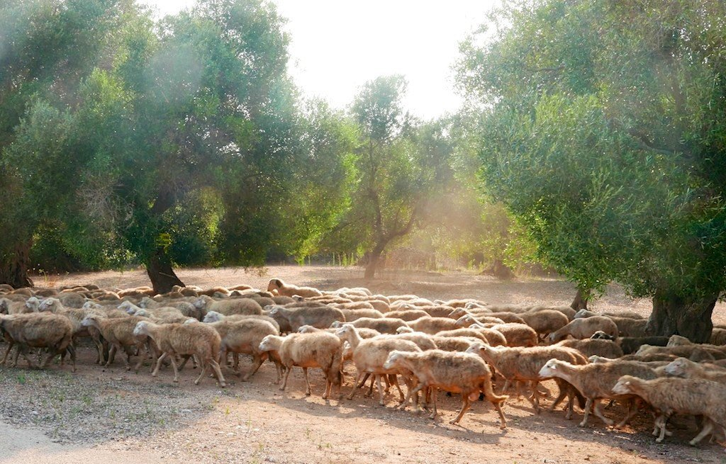 Puglia, Salento, herd of sheep in olive grove