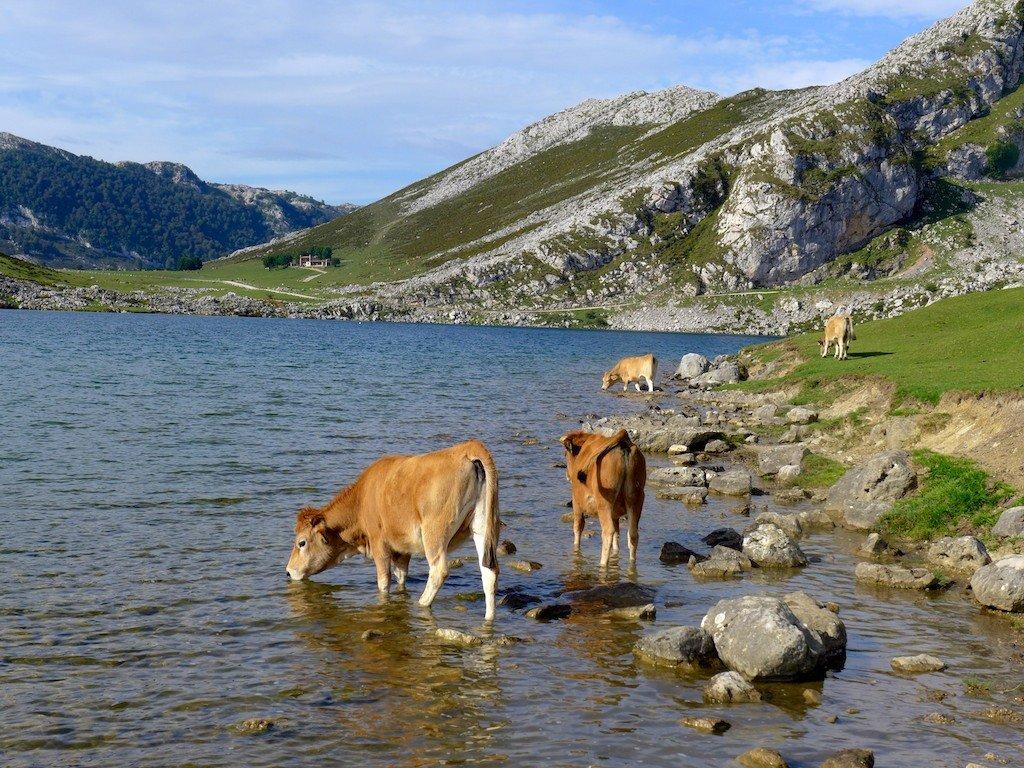 Asturias, Lago de Enol, cows