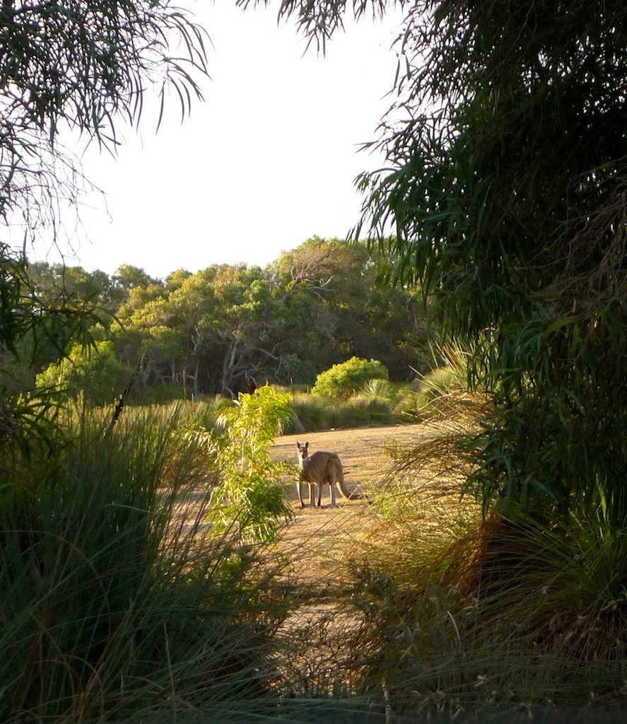 West Australia, kangaroo in bush