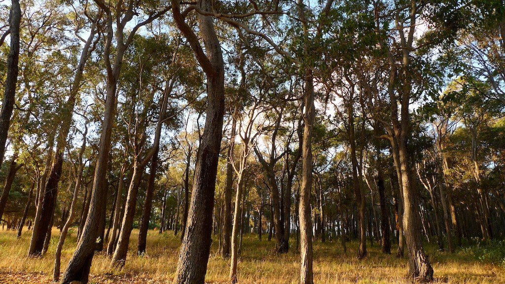 Southwest Australia, gum trees